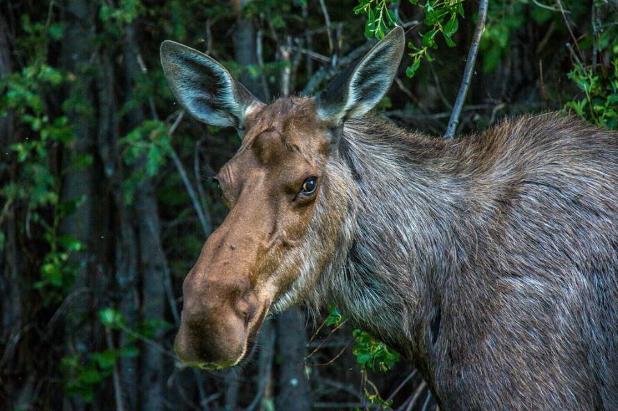 Moose Photo by Todd Paris